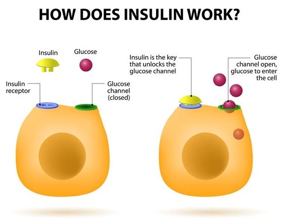 인슐린 역할 영문 그림.jpg